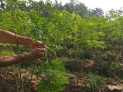 Moringa Leaf Harvest