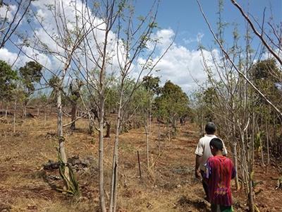 Moringa Seeds Cluster